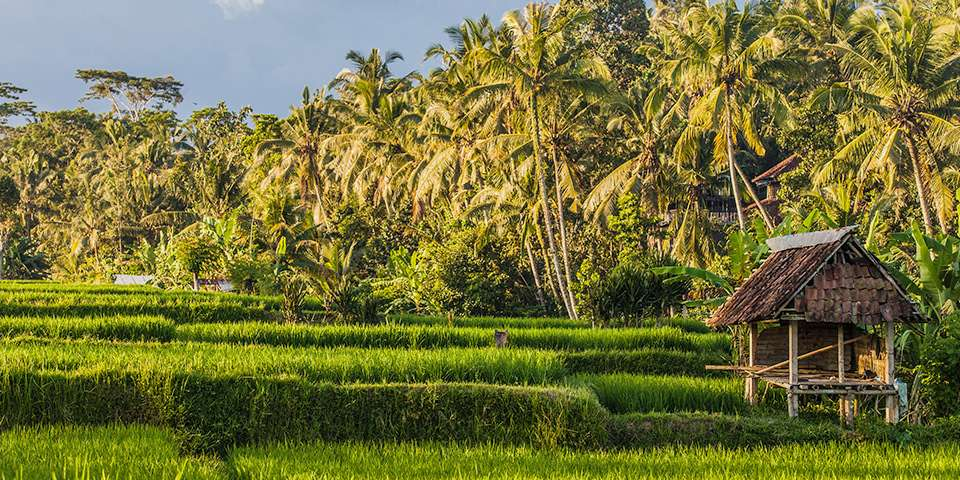 walking through the green rice fields of Ubud